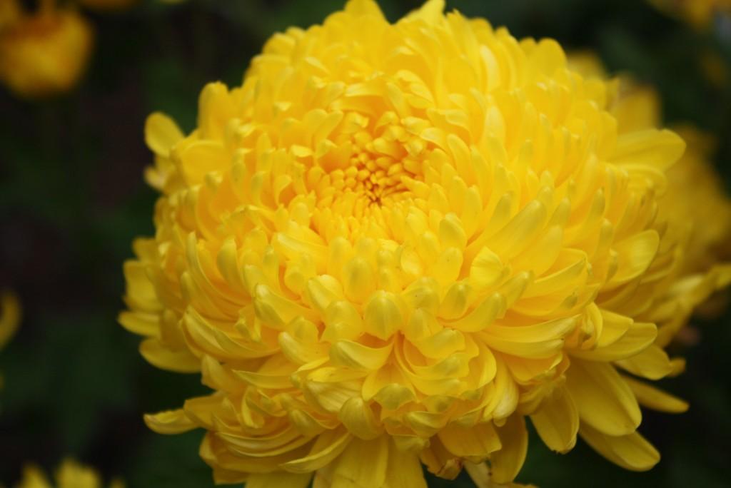6-Chrysanthem-Imperial-Le-Jardin-FengShui